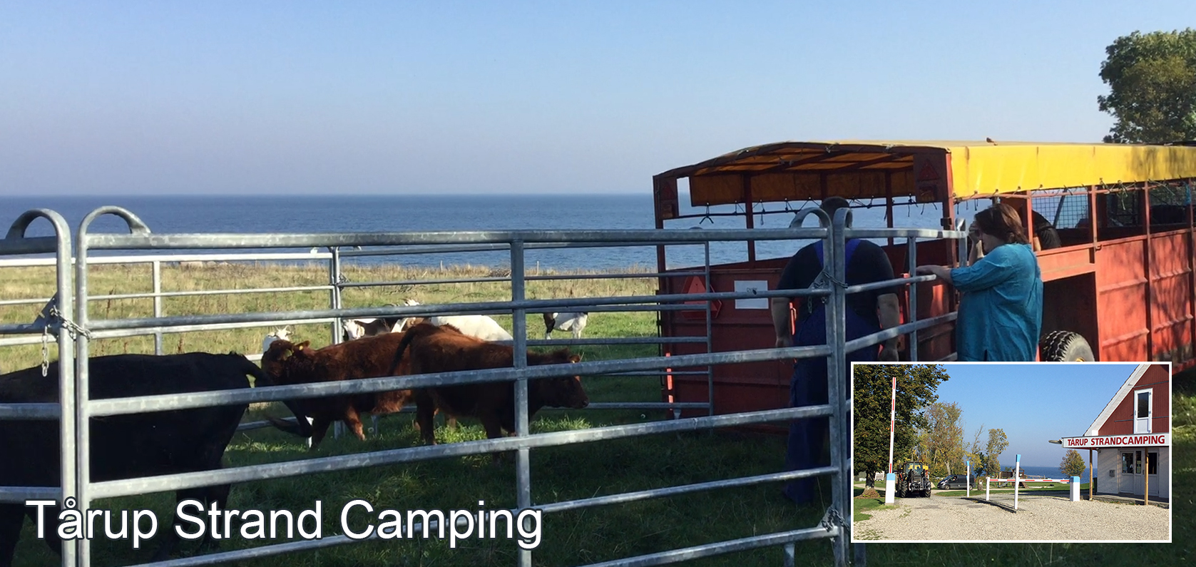 October 14, 2018 Today the cows traveled home from Tårup Strand Camping for the winter ...